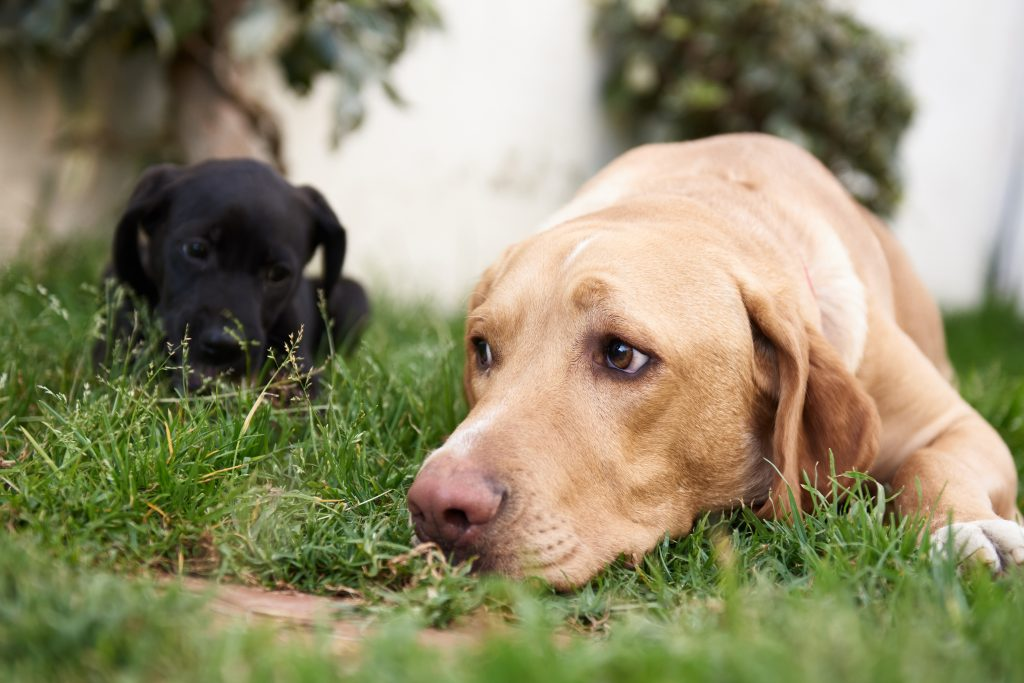 black puppy looking at brown labrador. Close-up. Bokeh